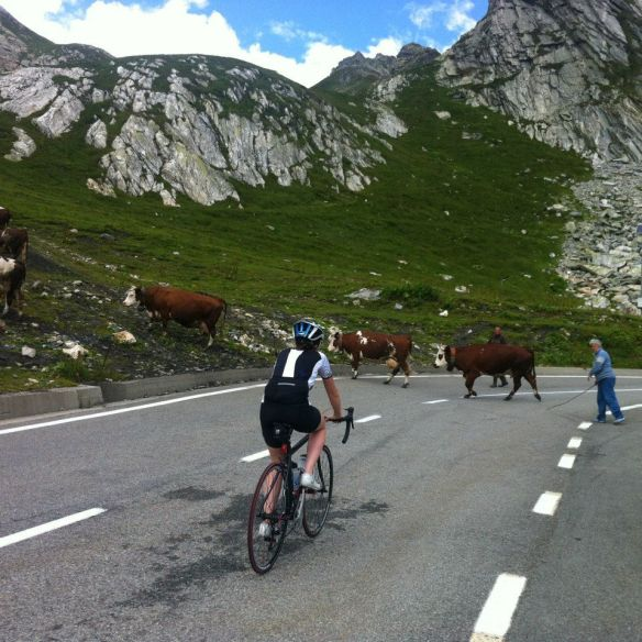 1km from the top and we were nearly blockaded by crossing cows